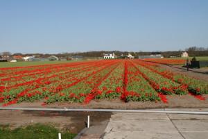 IMG 2069 300x200 Tulip Festerval
