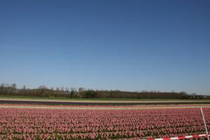 IMG 2073 300x200 Tulip Festerval
