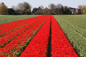 IMG 2079 300x200 Tulip Festerval