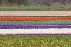 IMG 2098 300x200 Tulip Festerval