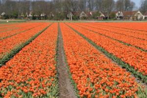 IMG 2103 300x200 Tulip Festerval