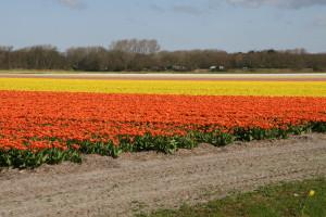 IMG 2105 300x200 Tulip Festerval