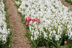IMG 2112 300x200 Tulip Festerval